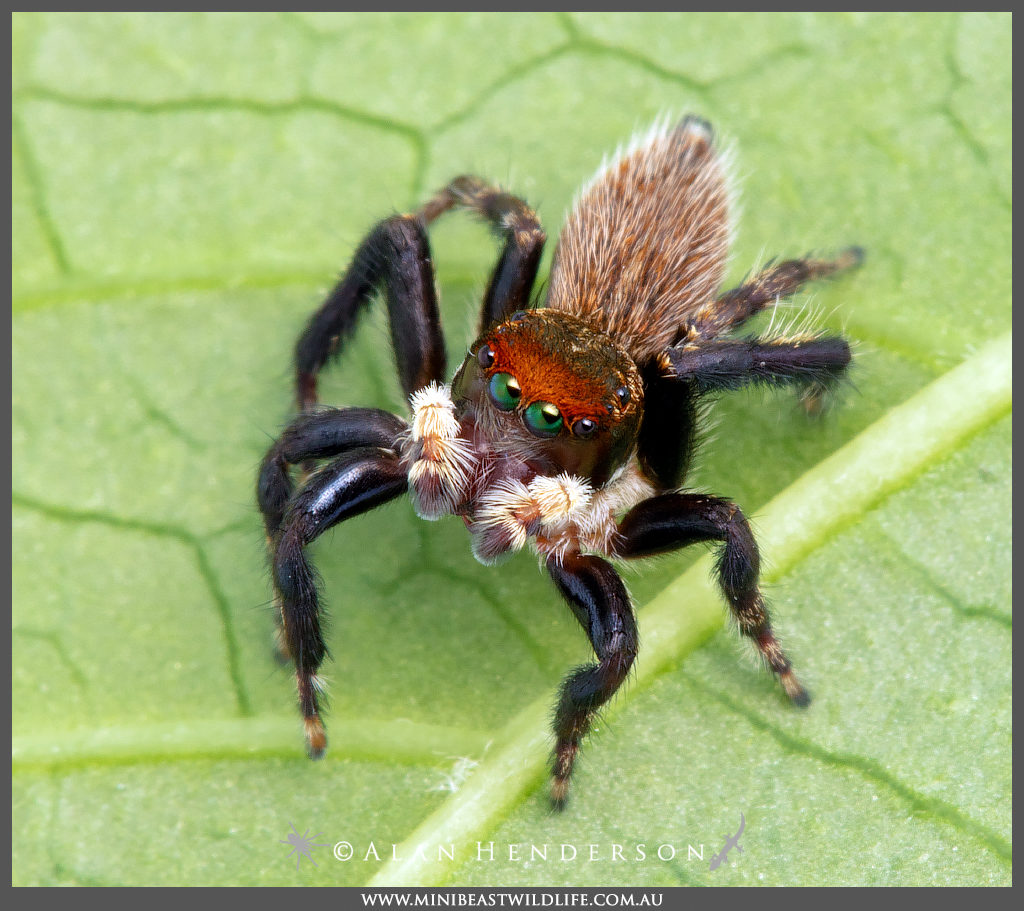 Have you seen this man? The Shaggy Jumping Spider (Hypoblemum griseum) is a large Jumper with a red mask around his eyes.