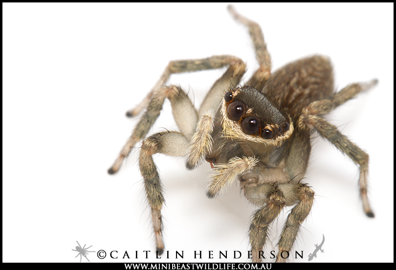 Will the female Shaggy Jumping spider be impressed by her suitor's moves? Hopefully he doesn't find her expression as hard to read as we do.