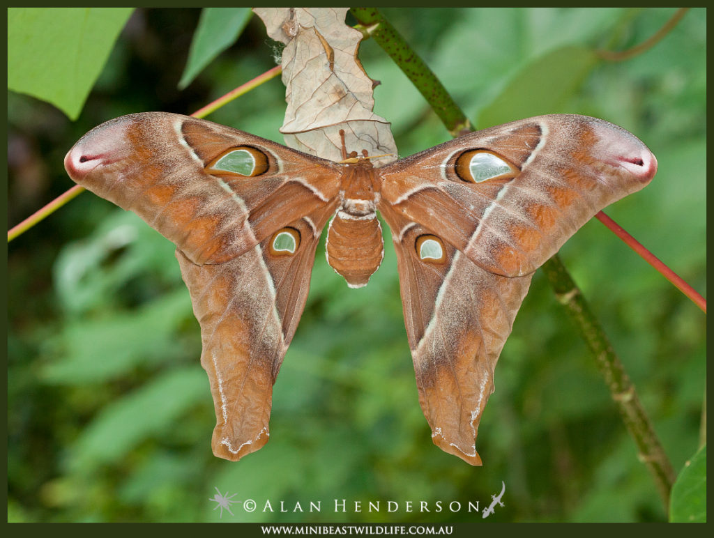 The female Hercules moth has a massive set of wings, ranking her among the world's largest moths.