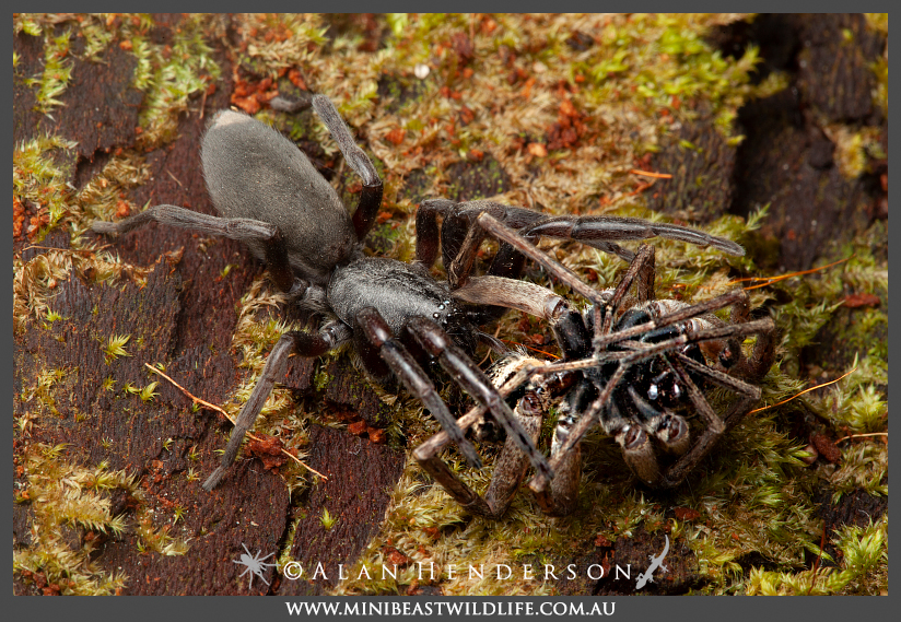White-tails are spider-hunting spiders. This one has captured an unfortunate Wolf Spider (Lycosidae).
