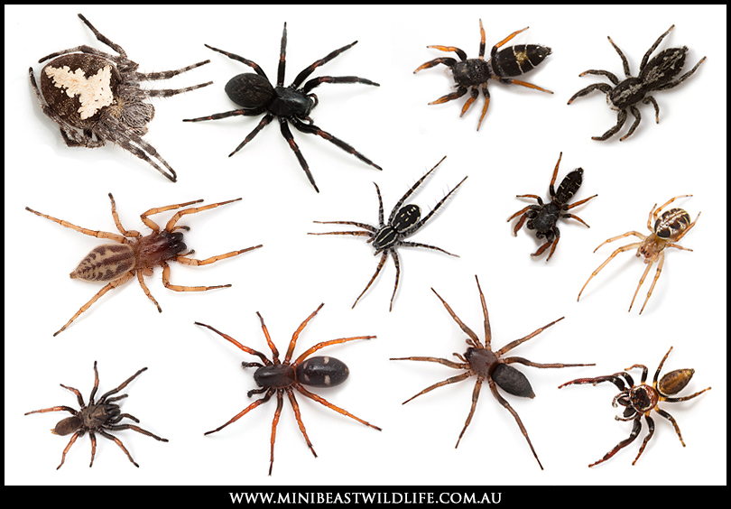 Easy to pick a White-tail? Here's a very small selection of spiders I've seen misidentified as White-tails over the years.