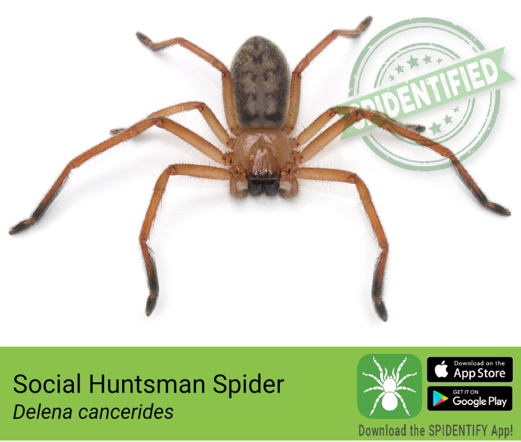 A quintessential Australian, the Social Huntsman Spider (Delena cancerides) is common throughout the south and even ventures into houses. (Photo: Spidentify)