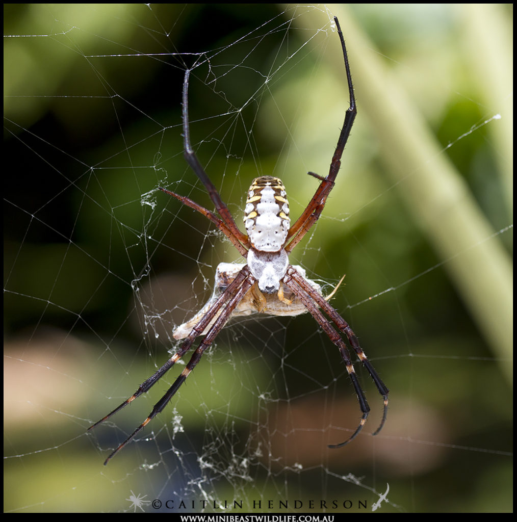 The Grass Cross Spider (Argiope catenulata) feeds on a prey item with water and reeds visible in the background.