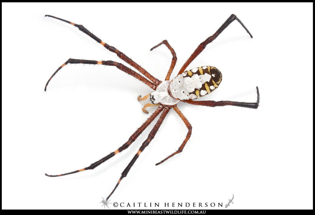 The Grass Cross Spider (Argiope catenulata) photographed on a white background by Caitlin Henderson, Minibeast Wildlife.