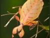 An orange- coloured adult female Phyllium monteithi