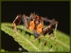 portia-male-fringed-jumping-spider-2