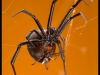redbacks-mating
