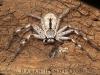 spiders_alan_henderson_30