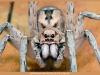 wolf-spider