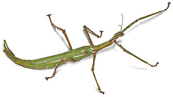 Stick insects for sale - Goliath Stick insect