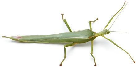 Podacanthus viridiroseus - adult female right