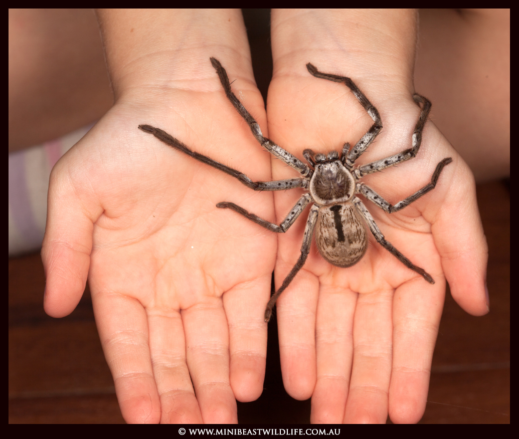 Giant Australian Spider