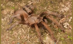 Phlogius sp. - Kuranda - Alan Henderson, Minibeast Wildlife