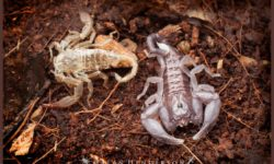 A freshly moulted young scorpion next to the shed skin. Photo: Alan Henderson, Minibeast Wildlife